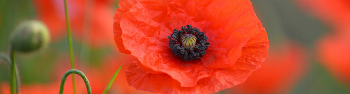 Close-up of a poppy flower in a field