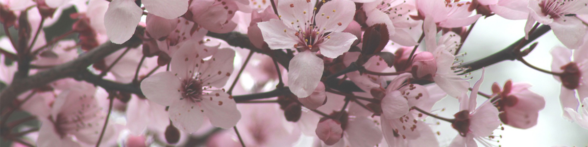 Cherry blossom flowers in bloom on a tree branch