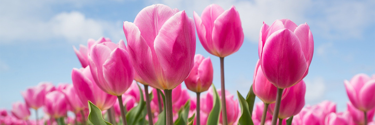 Pink tulips growing in a field, with blue sky and white clouds behind.